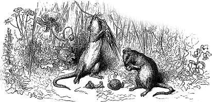 Городская и полевая крысы