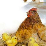 Маленький цыплёнок на большой земле - Валентина Осеева