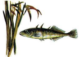 рыбка-колюшка, по прозвищу Остропёр