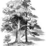 Спор деревьев - Константин Ушинский