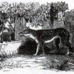 Волк и тощая собака - Жан де Лафонтен