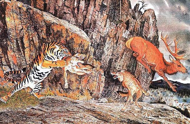 тигр напал на волка Амба