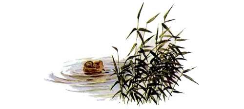 утенок в озере