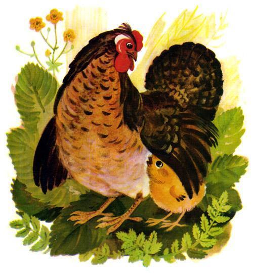 Цыпленок под крылом курицы