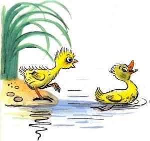 цыпленок на берегу утенок плавает