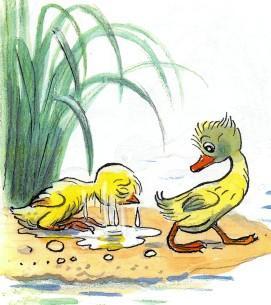 цыпленок обсыхает утенок идет купаться