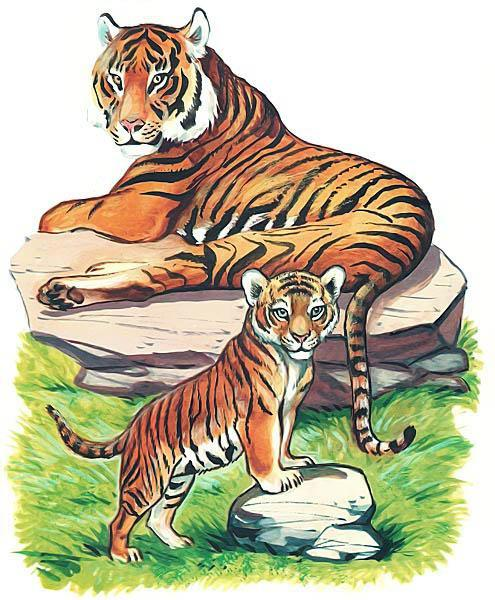 тигренок и тигрица