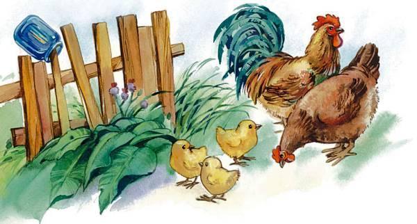 цыплята курица и петух во дворе