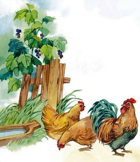 курицы у забора