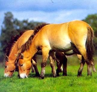 Лошадь Пржевальского выжила благодаря тому, что ее разводят в зоопарках.