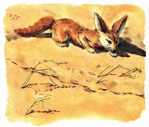 Корсак - маленькая степная лисичка