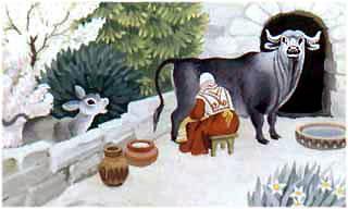 жена доит буйволицу, а теленок к ней рвется, жалобно мычит