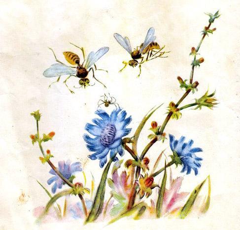 Влез паучок посмотреть на голубой цветок цикория