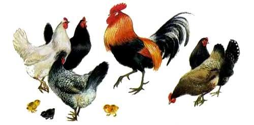 Петушок с семьей курицы и цыплята