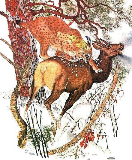 Рысь напала на оленя