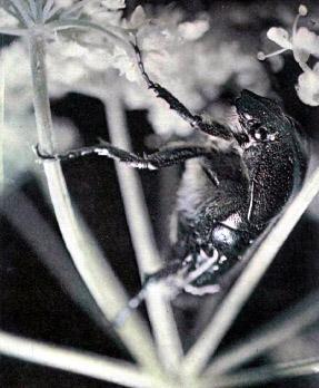 жук-бронзовка