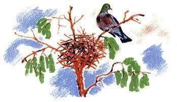 голубь у гнезда