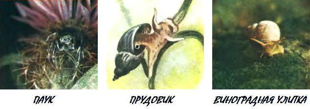 паук улитки