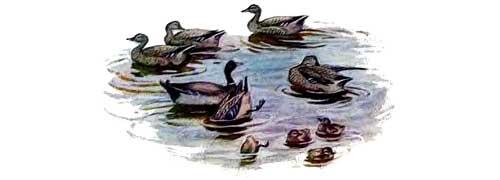 утки плавают в озере в воде